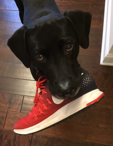 Black lab holding a red running shoe